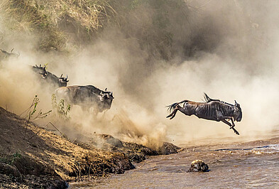 Great Migration Gnus Fluss Sprung